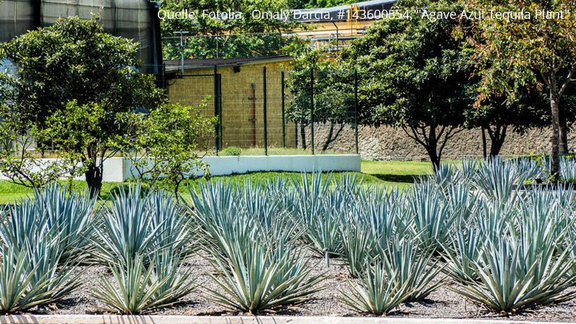 Tequila - der Brand aus Mexico